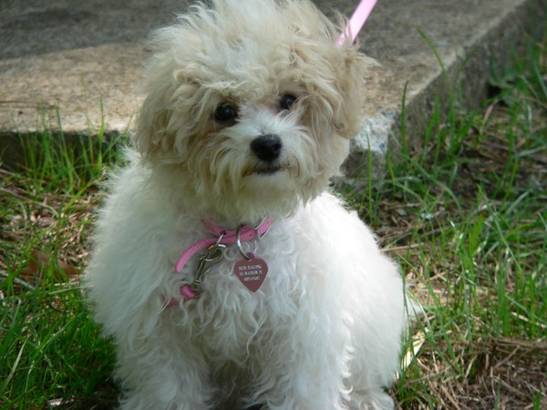 Baby Bichi Puppy