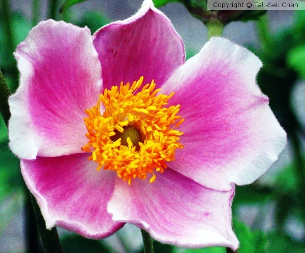 Windflower (Anemone hupehensis September Charm)