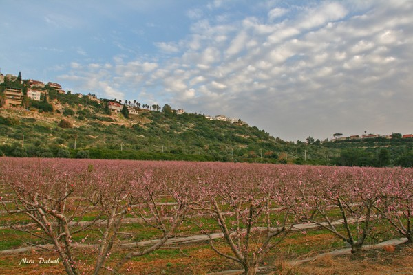Almond trees in Front of the Village