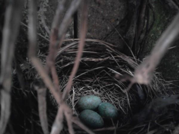 Blackbirds nest