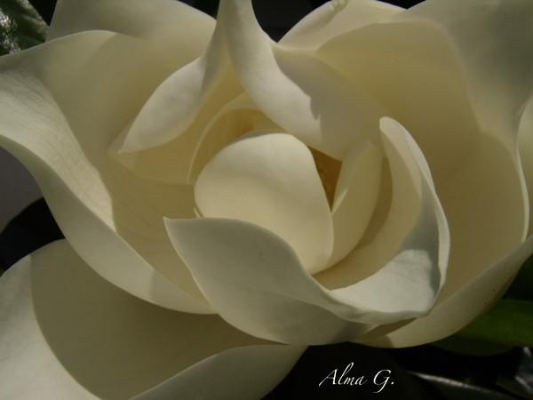 Magnolia full