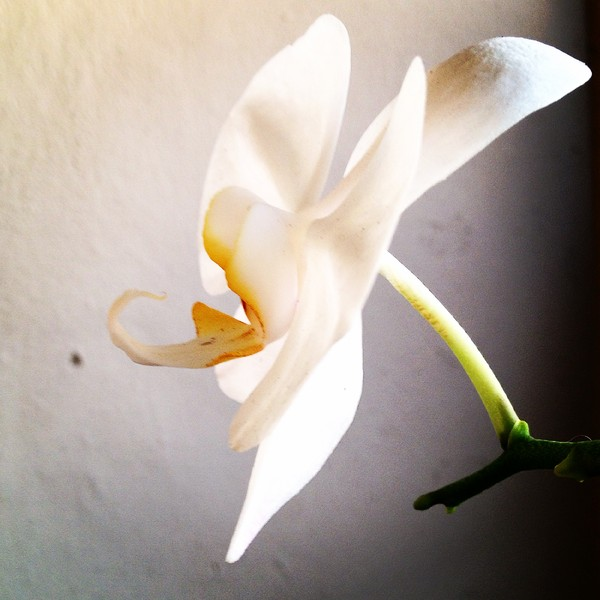 Florida orchid