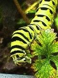 Black Swallowtail Caterpiller 1