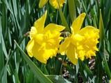 Daffodil's Make the Soul Happy!!