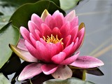WATERLILY ..