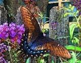 Dark Phase Tiger Swallowtail 2