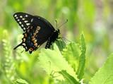 Black Swallowtail on Sawleaf
