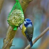 BLUE TIT AT THE FEEDER ..