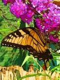 Yellow Tiger Swallowtail 1