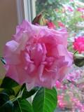 Aunt Nita's Rose in Window
