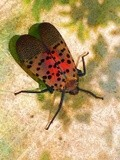 Spotted Lantern Fly 1