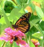 August Monarch