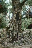 Hadrian's Olive Tree