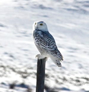 Artic Snow Owl