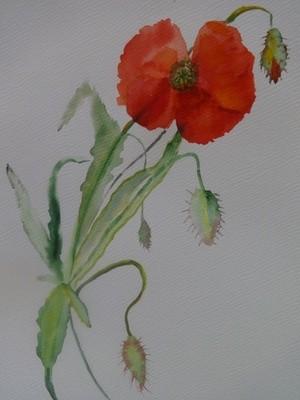 Poppy from Toscana