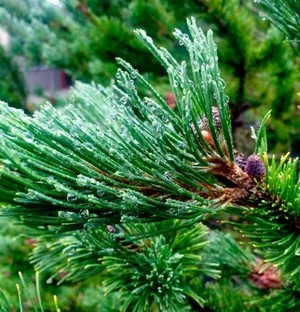 Redwood June Rain