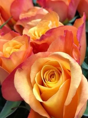 Orange Fire Rose #1