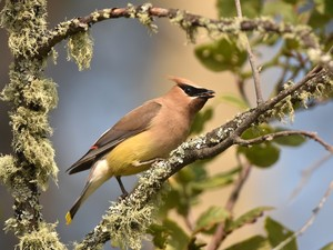 cedar waxwing tongue out FB 12x16 DSC 1920