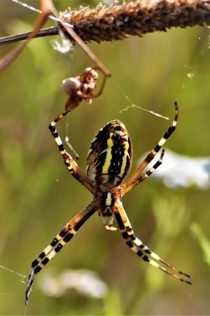 WASP SPIDER .. ARGIOPE .