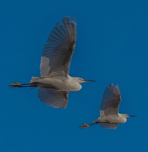 Egrets in Flight ~ November 2019