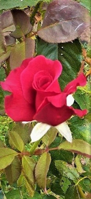 Red Rose of Clarksville 2 (2)