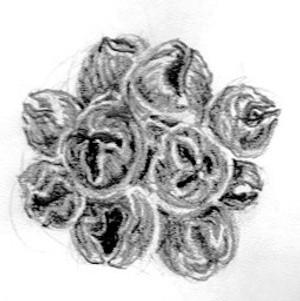 Brittle Gum Fruit Sketch