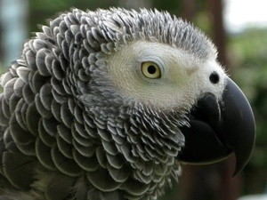 African Grey Portrait