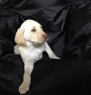 Yellow Lab Puppy Sadie