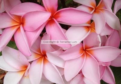 Plumerias Blooming
