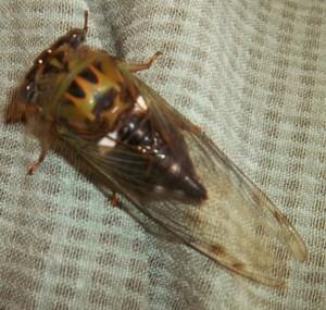 ABSTRACT Cicada Bug