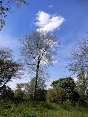 CLOUD FORMATION : A DOVE OVER THE TREE ..