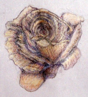 Peach Rose Drawing