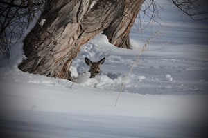 Mule Deer fawn in her snow bed