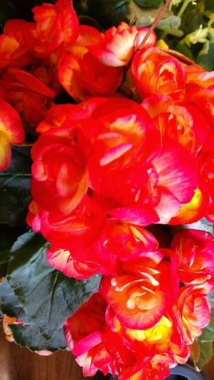 Double Camellia Impatience