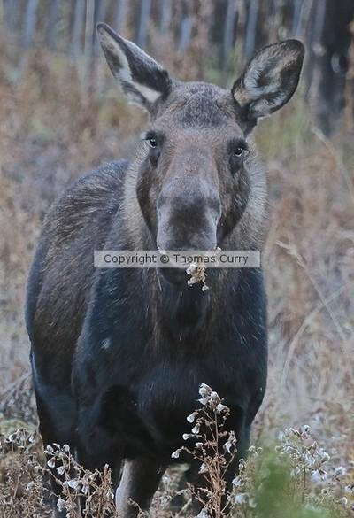 Moose in Rut