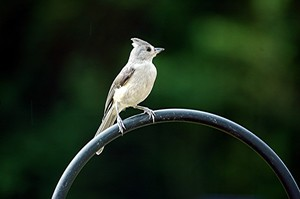 Tufted Titmouse In The Chickadee Family