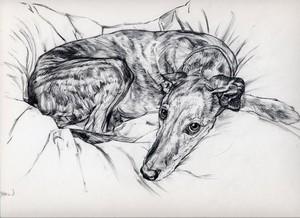 lurcher resting