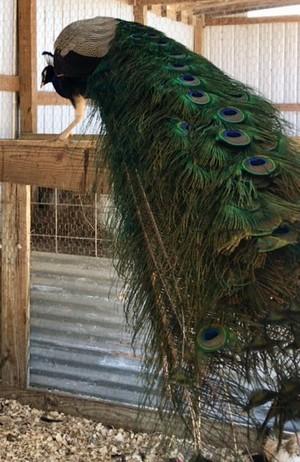 Barn Peacock