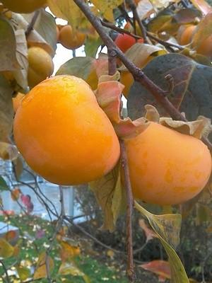 WINTER FRUIT : PERSIMMOMS