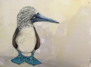 Blue Footed Boobie 1