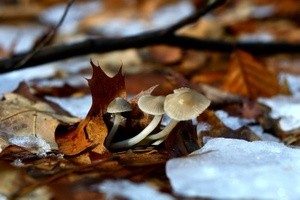 Triplet of Winter Fungi