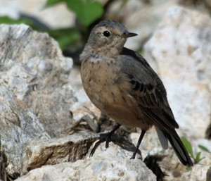 American Pipit - Hagerman