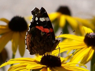 BELLE DAME AND SPIDER ON A BROWN-EYED SUSAN