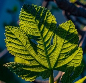 Leaf in the Morning Sun -  March 2021