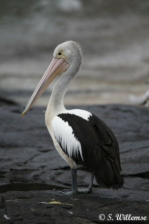 Wildlife Photography S Willemse Pelican