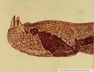 Gaboon Viper art, Bitus gebonica art,