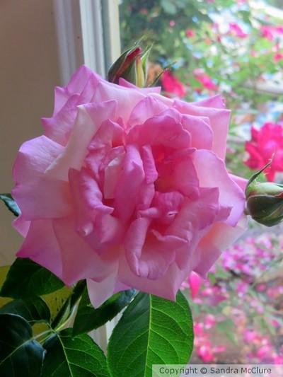Aunt Nita's Rose