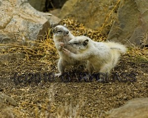 White Ground Squirrels of Dana Point