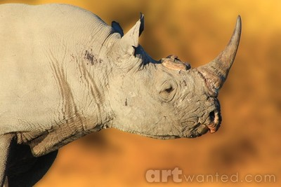 Black Rhino - Endangered Species from Africa