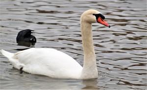 Resident Swan, Sunset Bay